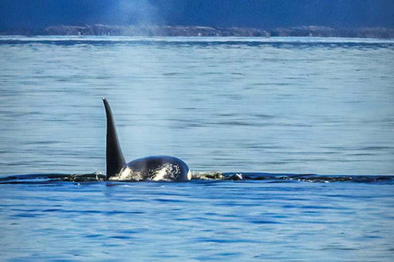 SFU is launching a new project to better protect killer whales (Black Press file)