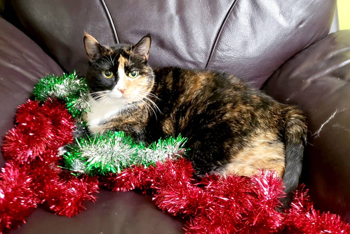 """""""This is Meowzer. The sat here the second we put the tinsel on the chair. Because she is too cute (as you can see) we couldn't move her… our tree is decorated, without tinsel."""" (Lori Neville/Special to the Star)"""