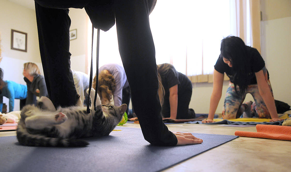 People take part in Yoga with Cats on Mats, a fundraiser for Chilliwack Animal Safe Haven on Nov. 30, 2019. (Jenna Hauck/Chilliwack Progress)