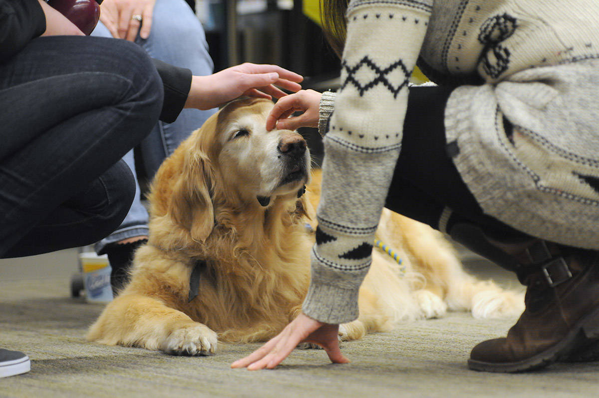 Macbeth the UFV therapy dog accepts pets on Feb. 22, 2017 at the Chilliwack campus. (Jenna Hauck/ Chilliwack Progress file)