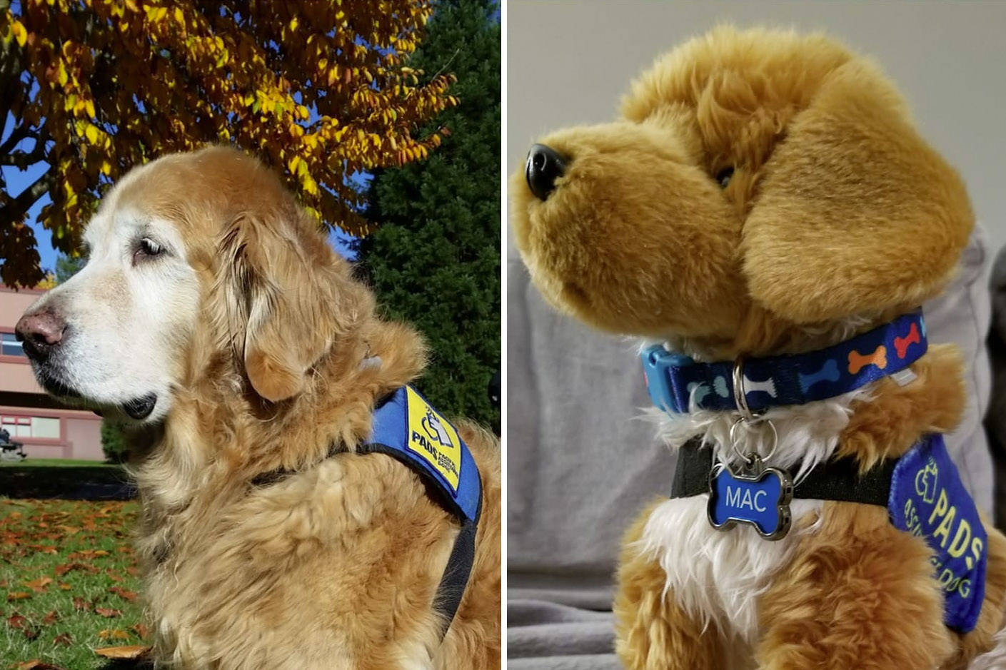 A plush stuffie has been made in memory of the late Mac the therapy dog who worked at University of the Fraser Valley. It is a fundraiser for Pacific Assistance Dogs Society (PADS). (Facebook/UFV PADS Canine Counsellor Mac)