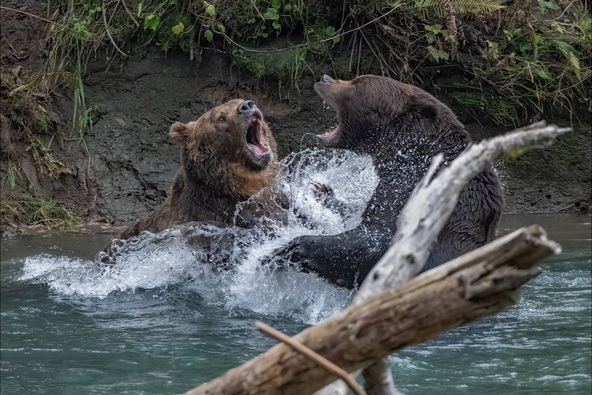 Two giant grizzly bears engaged in a territorial fight. (Wayne Duke photo)