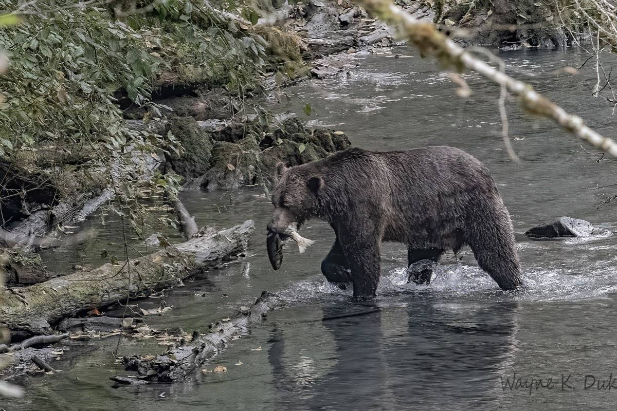 A grizzly bear gets his meal. (Wayne Duke photo)