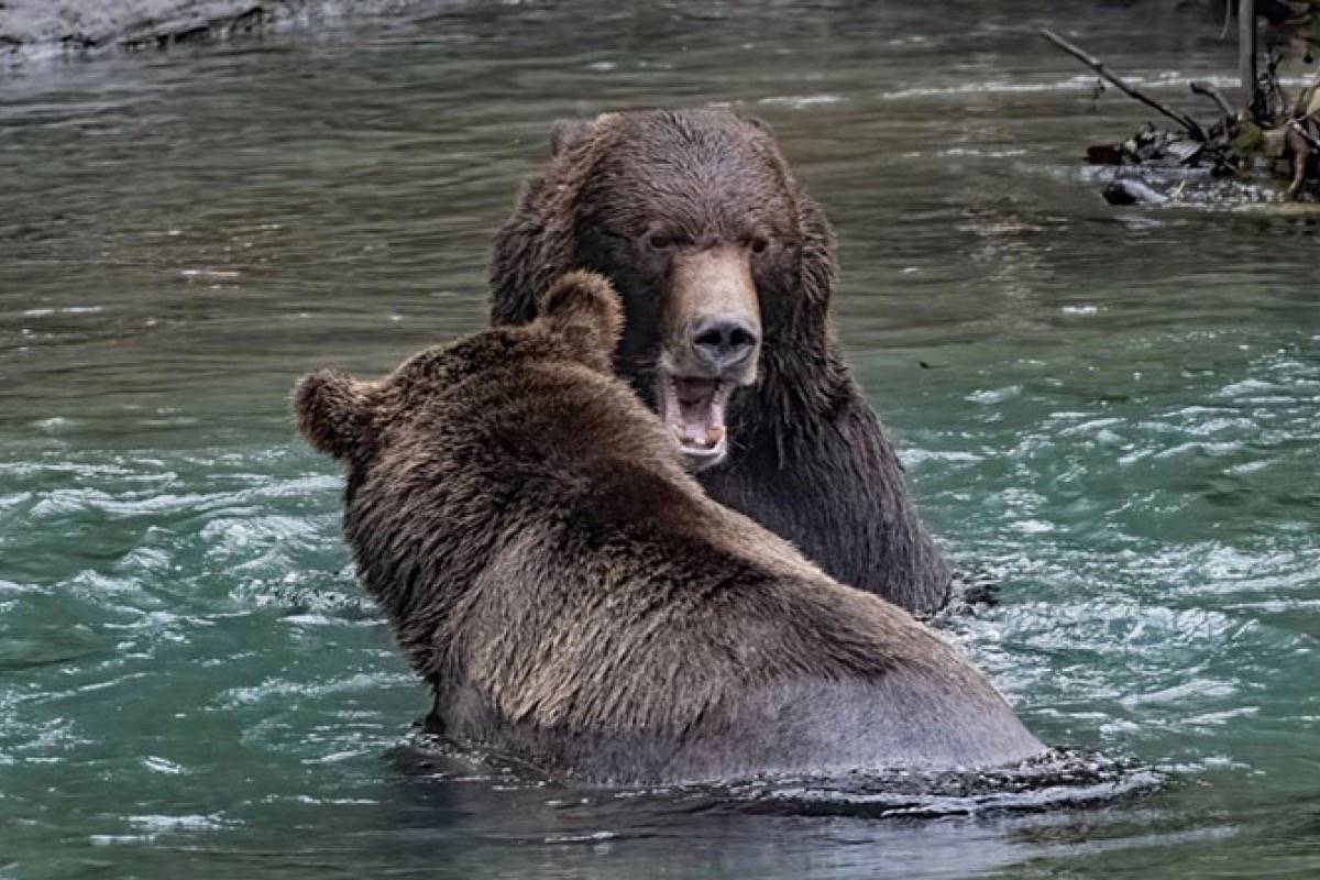 Two giant grizzly bears fight for the best fishing spot. (Wayne Duke photo)