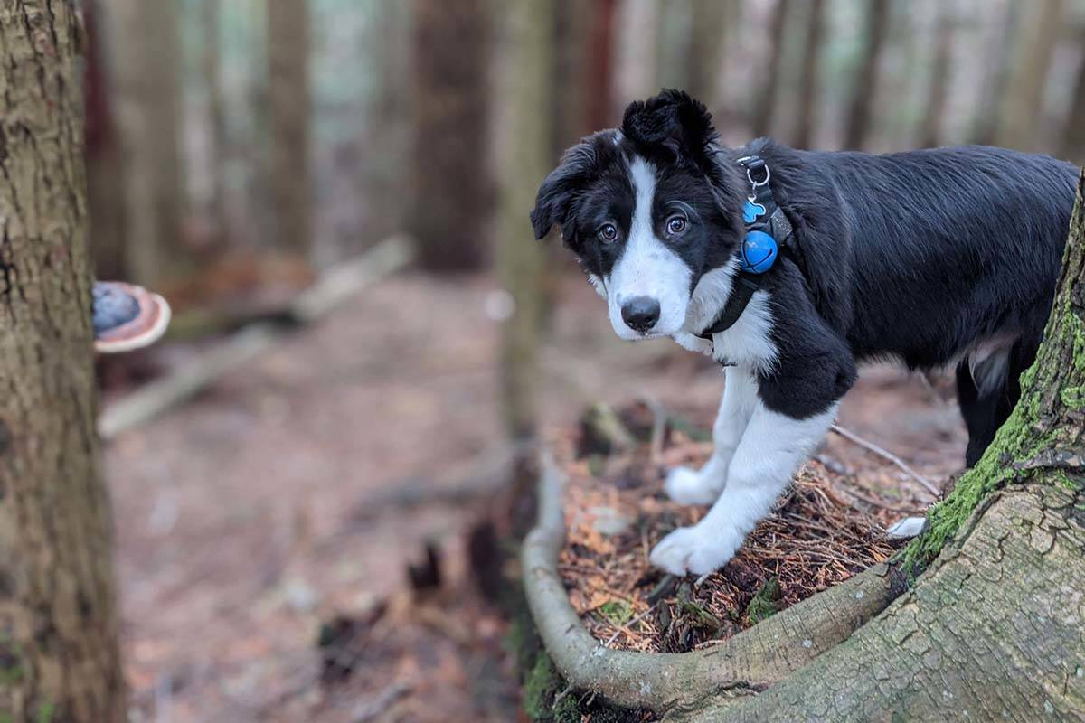 The  couple's four month old border collie, Mavi. Artur Siewierski photo.