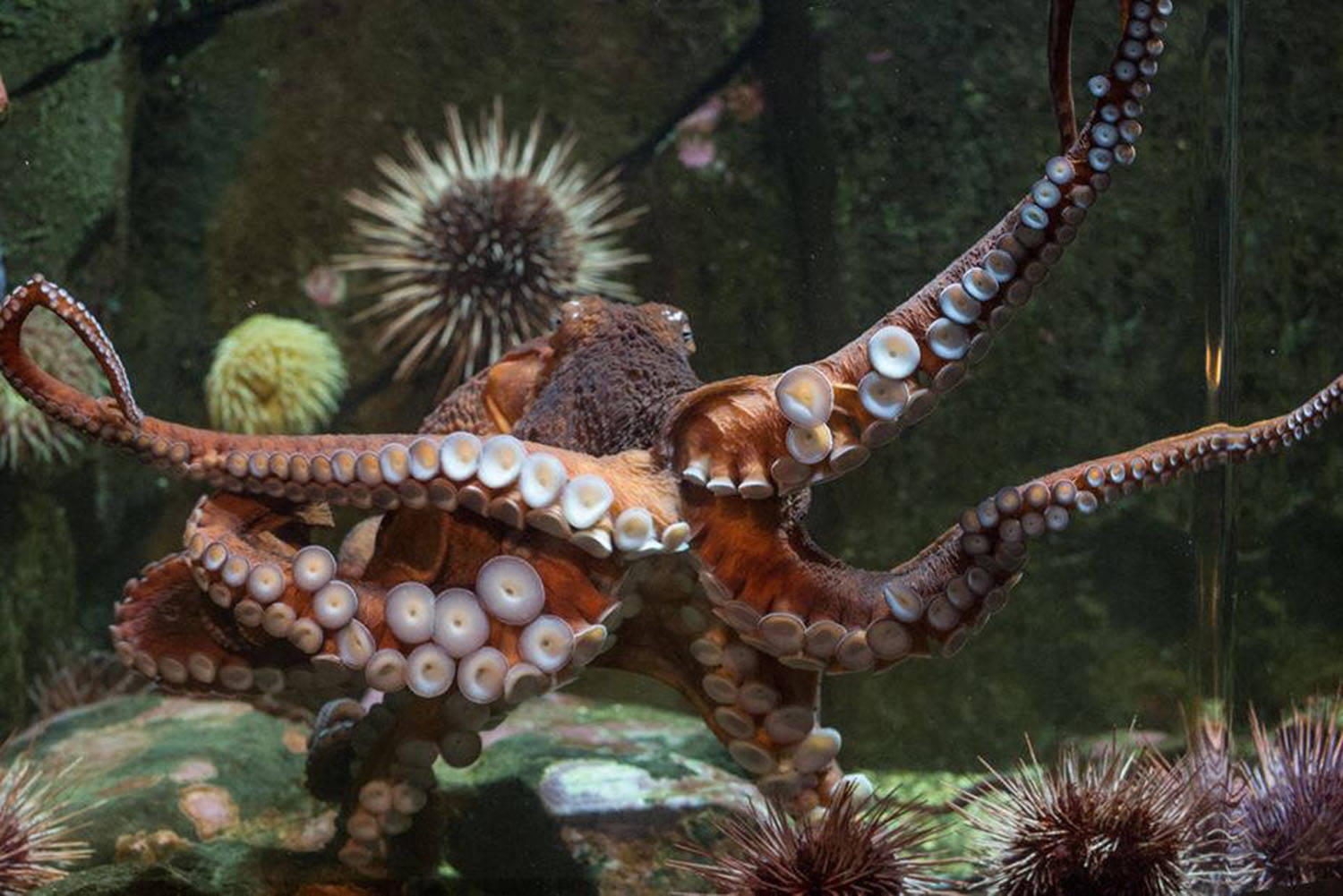 The Shaw Centre for the Salish Sea named its new octopus Henry in honour of provincial health office Dr. Bonnie Henry. Henry was released back into the sea on Dec. 16. (Photo by Bob Orchard/Shaw Centre for the Salish Sea)