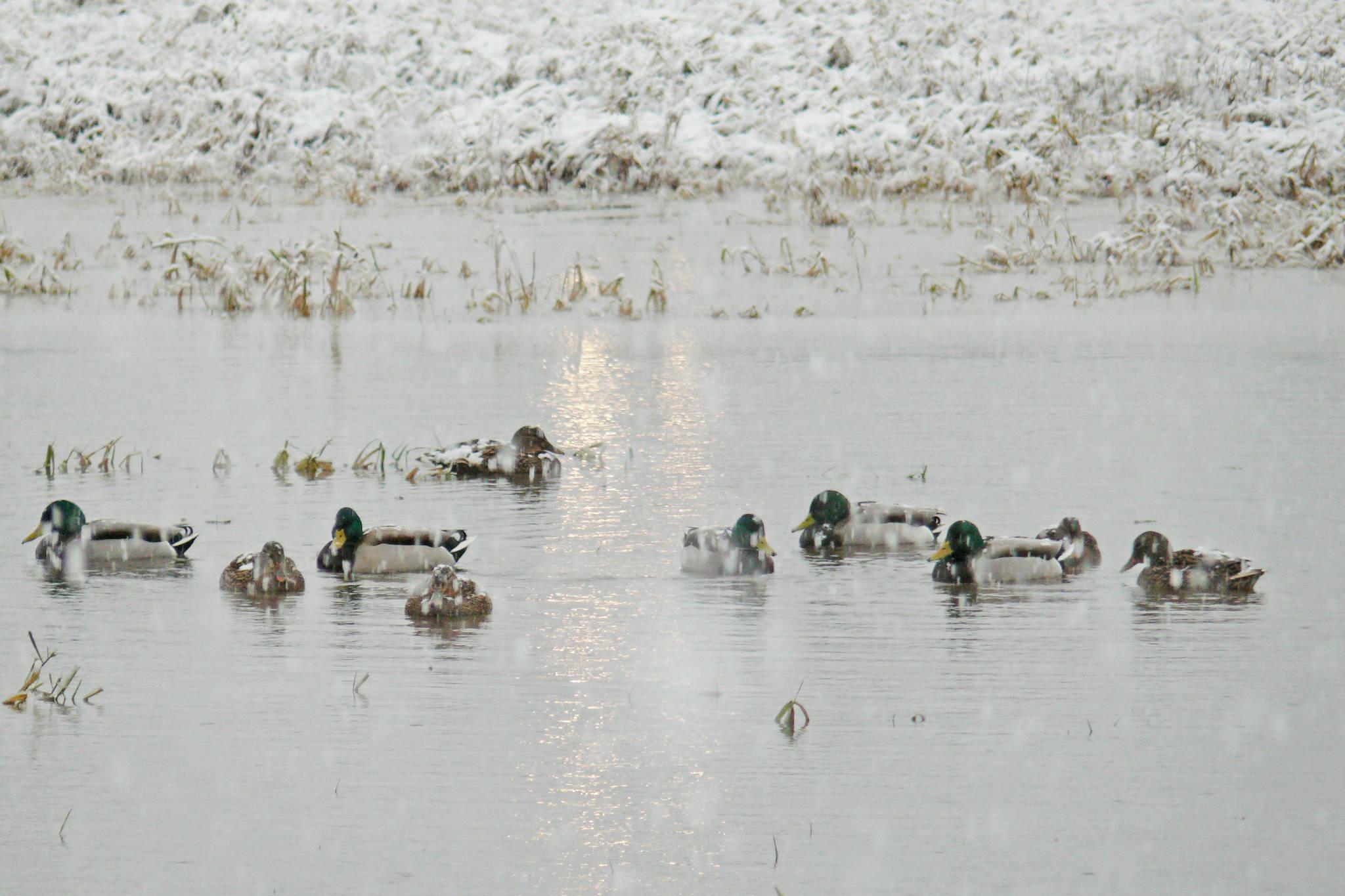 Winter arrived in Langley Monday, Dec. 21, dumping damp snow. Ducks were undeterred. (Dan Ferguson/Langley Advance Times)