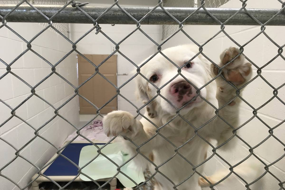 The dogs and puppies seized from the property included Labrador retrievers, Dalmatians, Corgis, Great Pyrenees, King Charles spaniels, Yorkies, Maltese, Poodles and Australian cattle dogs. Photo SPCA