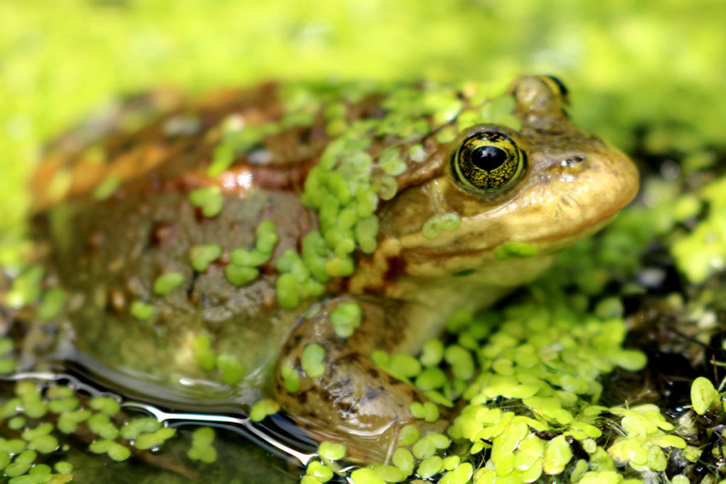 Oregon Spotted Frog (Greater Vancouver Zoo/Special to the Aldergrove Star)