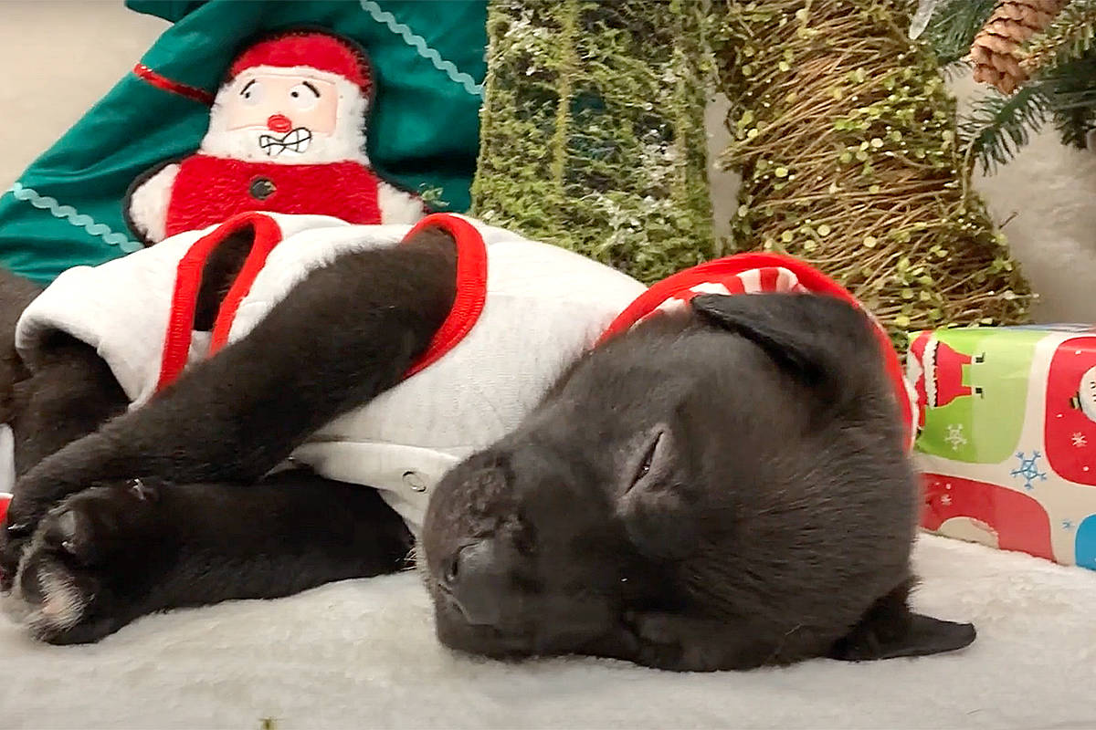 A litter of cute black lab puppies were born last month at LAPS, and staff had fun watching them play under the Christmas tree. (Special to Black Press Media)