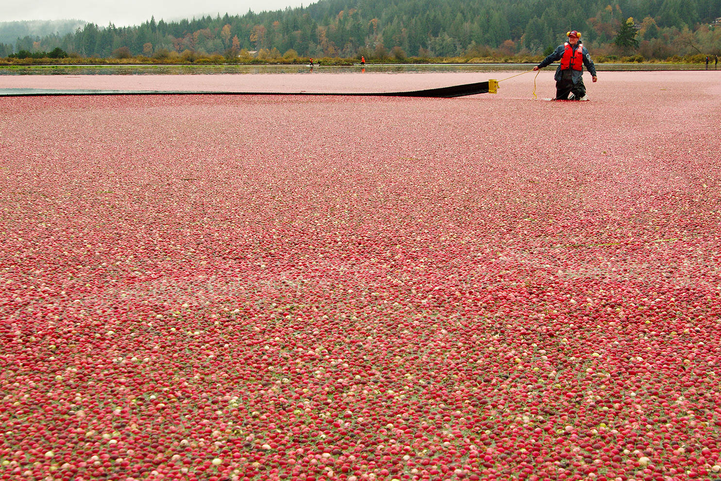 Grant Keefer, owner of Yellow Point Cranberries, pulls a boom into position as he rounds up cranberries floating atop the water in a flooded field at the farm located in Yellow Point south of Nanaimo. (Chris Bush/Nanaimo News Bulletin)