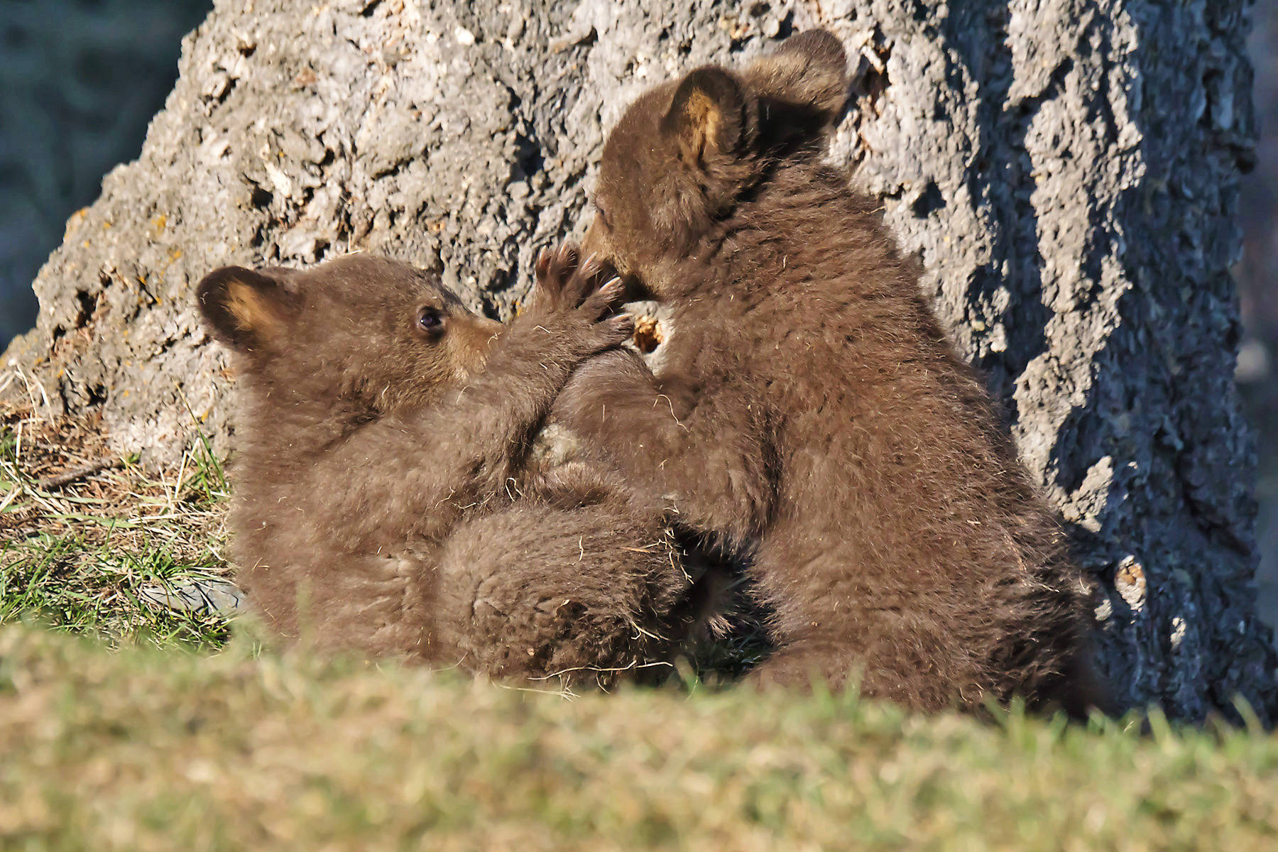 Nobody out in Kimberley but the bear cubs in April. (Brian Hay/Contributed to Kimberley Bulletin)