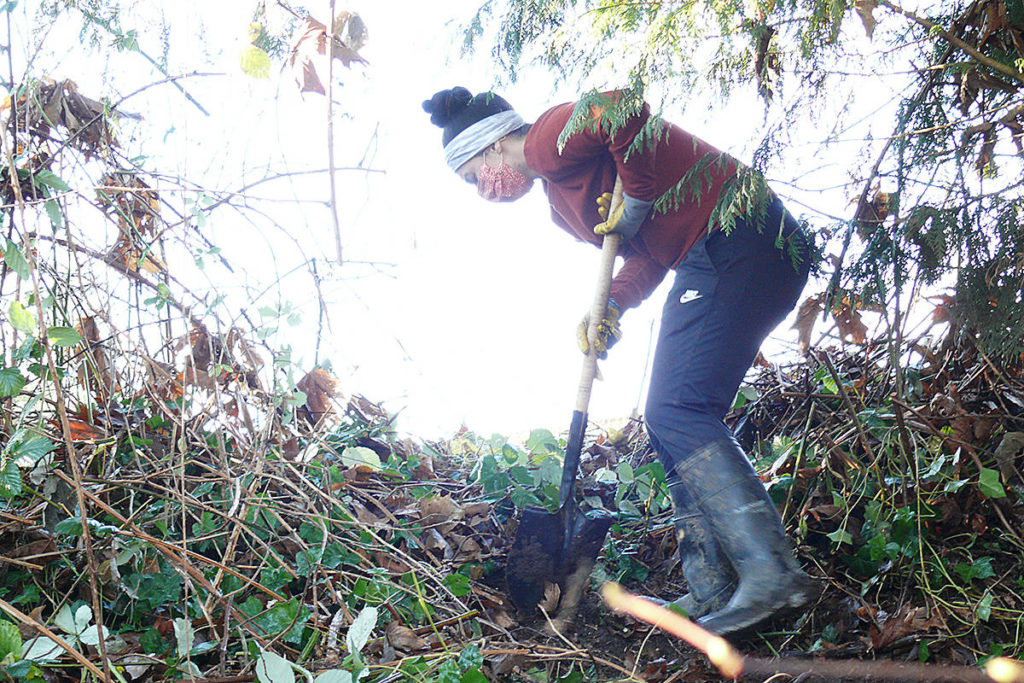 A Langley Environmental Partners Society (LEPS) staffer wrestles with invasive ivy in Aldergrove along the Creekside Nature Trail by Bertrand Creek (Dan Ferguson/Langley Advance Times)