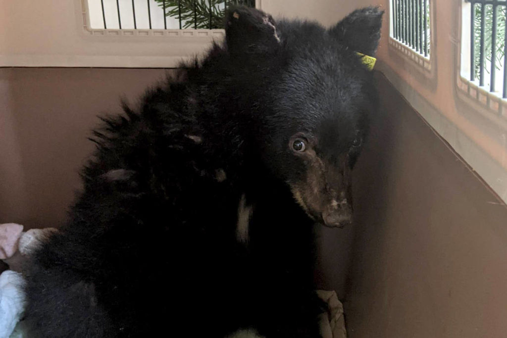 Critter Care has a brand new bear, and it's aptly named for the season – Noel. (Critter Care/Special to the Aldergrove Star)