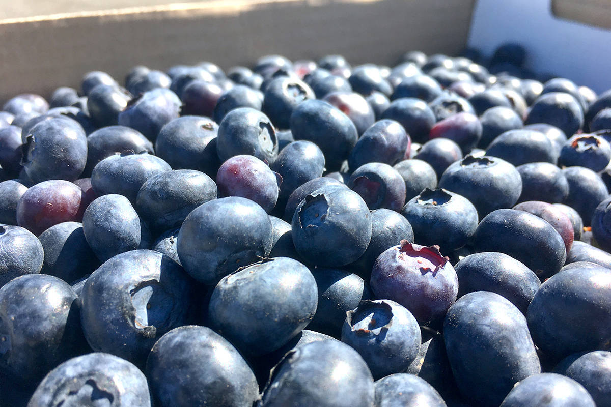 B.C.'s Fraser Valley is a major source of Canada's blueberry exports. (Maple Ridge News)