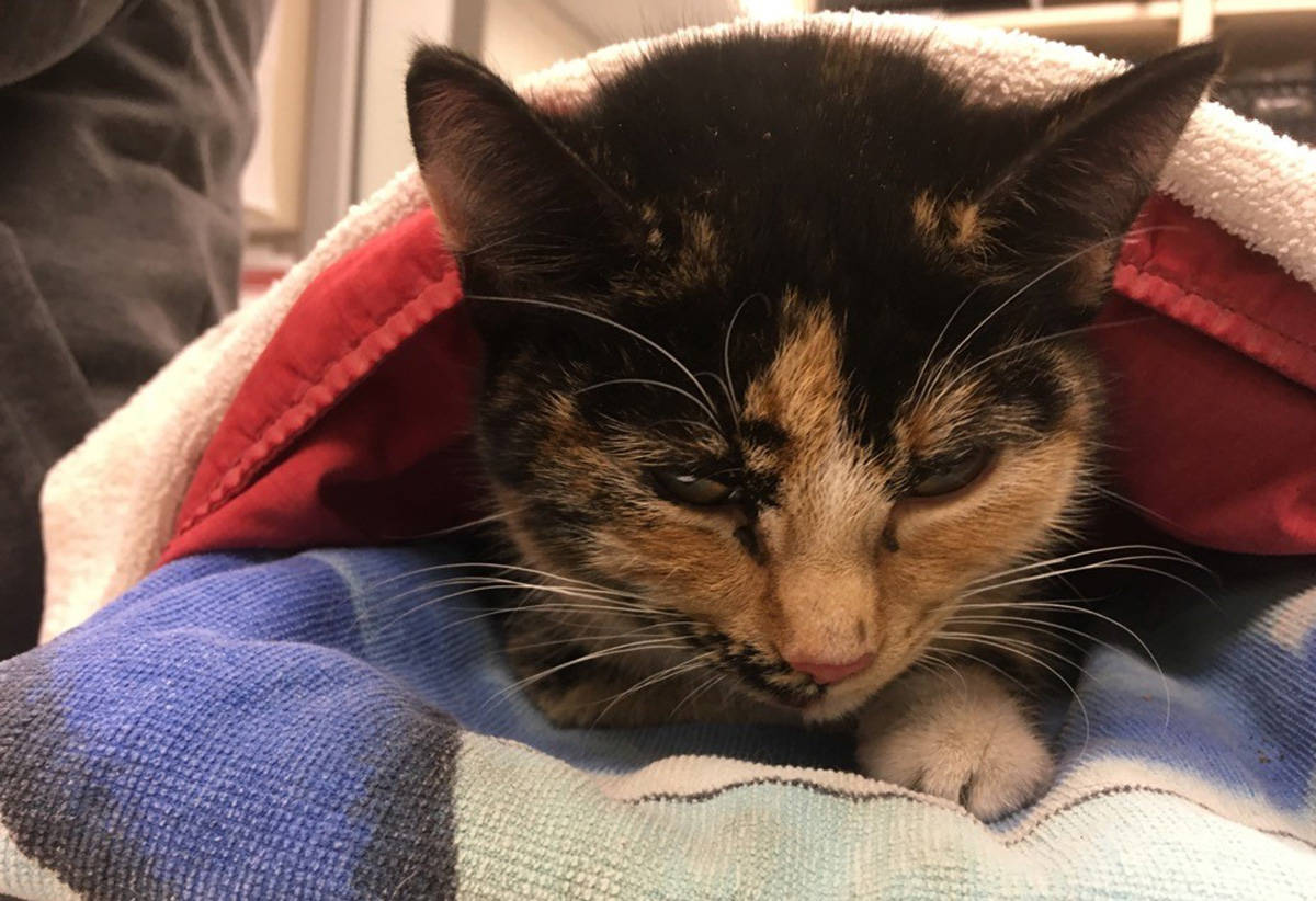 A cat was found in December 2020 by a semi-truck driver after she was run over by an oncoming vehicle along an icy road in northern B.C. (BC SPCA handout)