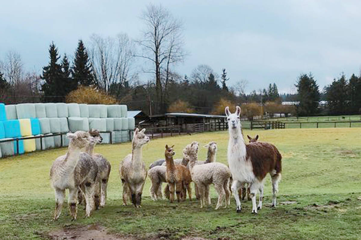 Daisy (R) has had her stitches out and she has joined the moms and babies' herd at Kensington Prairie Farm in Aldergrove (Kensington Prairie Farm/Special to Langley Advance Times)