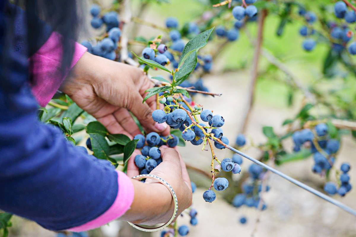 Blueberries being picked in B.C. (B.C. Blueberry Council/Special to the Langley Advance Times)