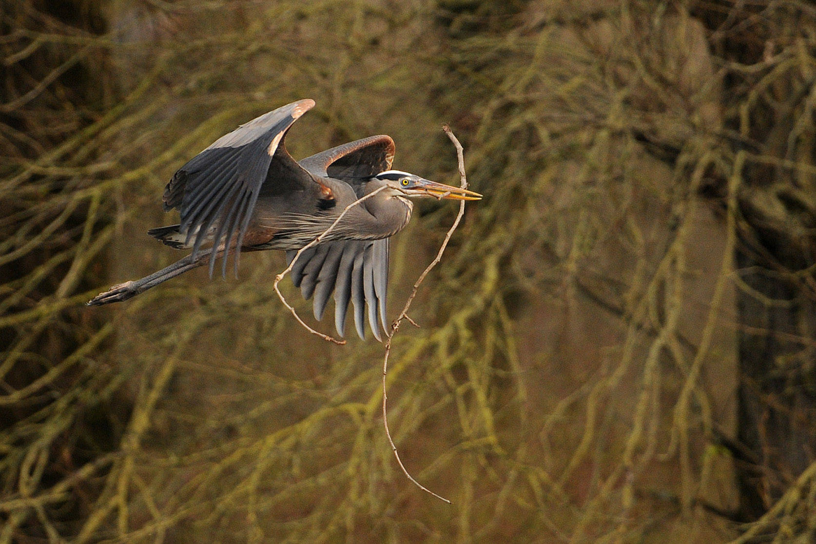 A heron brings a twig back to its nest at the Great Blue Heron Nature Reserve in Chilliwack on March 18, 2015. Tuesday, Jan. 5, 2021 is Bird Day. (Jenna Hauck/ Chilliwack Progress file)