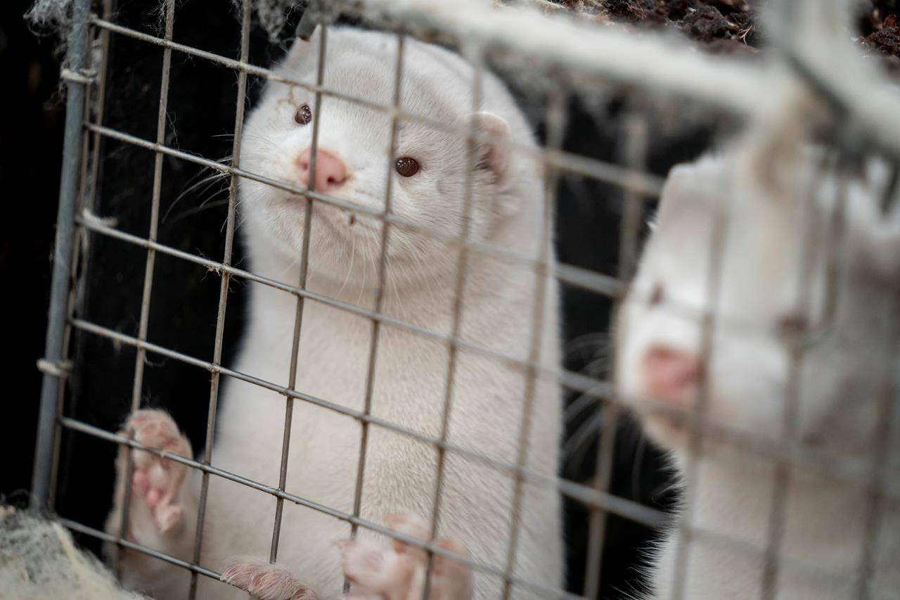 Mink are shown on a farm near Naestved, Denmark, Friday Nov. 6, 2020. British Columbia's chief veterinarian says a Fraser Valley mink farmer personally decided to euthanize his remaining 1,000 animals after earlier tests confirmed the COVID-19 virus on three mink that died at the farm. THE CANADIAN PRESS/Mads Claus Rasmussen/Ritzau Scanpix via AP