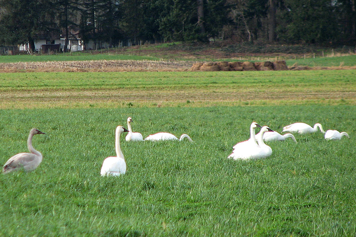 Fort Langley's Vivian Jervis shares a few pictures of a parade of trumpeter swans taken from Lefeuvre Road this past weekend, including one gaggle of swans with a plethora of ducks. (Special to Langley Advance Times)