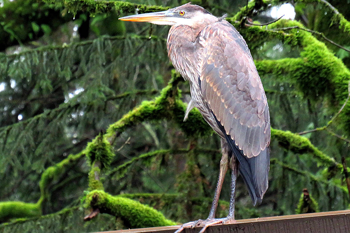 """On a blustery January day, Maryalice Wood was delighted to find this heron patiently perched atop the carport roof of her Willoughby home – as if waiting for her to arrive and drive in. """"He only stayed long enough for me to snap this photo!"""" she recounted. (Special to Langley Advance Times)"""