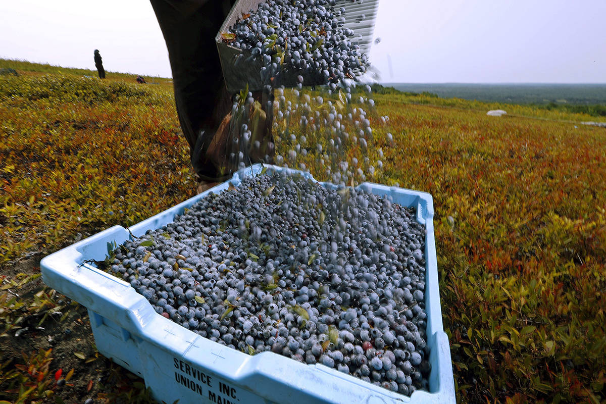 FILE - In this Aug. 24, 2018 file photo, a worker pours wild blueberries into a tray at a farm in Union, Maine. (AP Photo/Robert F. Bukaty, File)