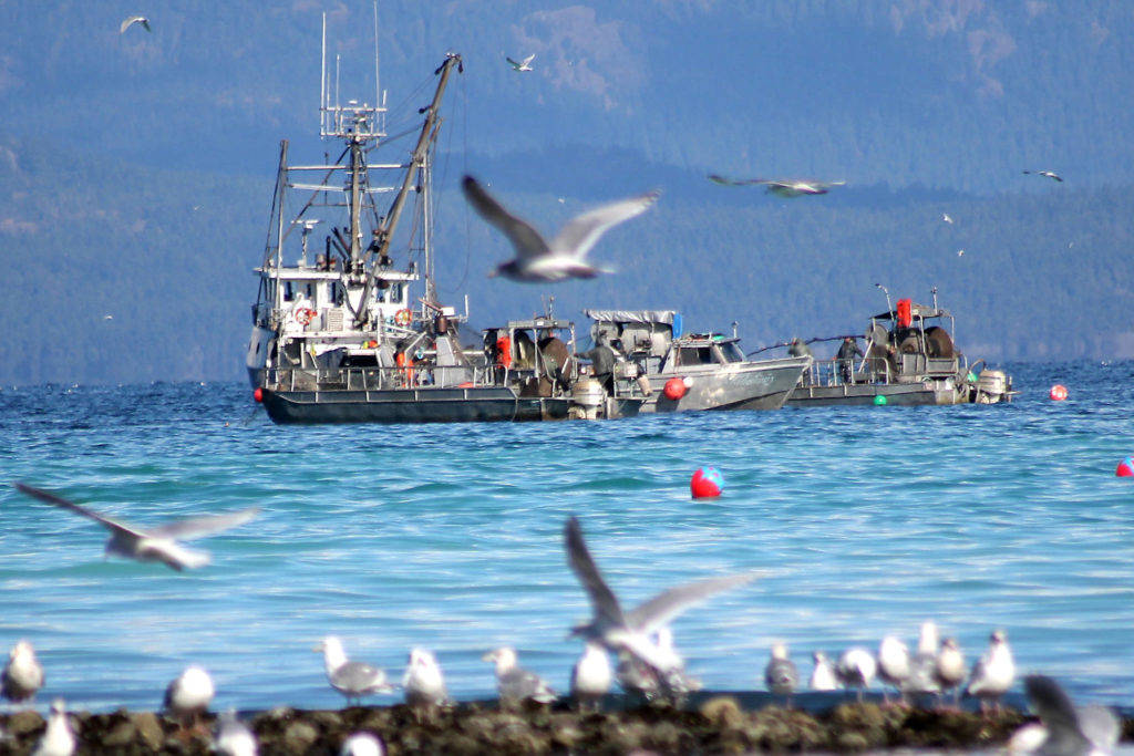 Canada released proposed regulations Jan. 2 for the fisheries minister to maintain Canada's major fish stocks at sustainable levels and recover those at risk. (File photo)