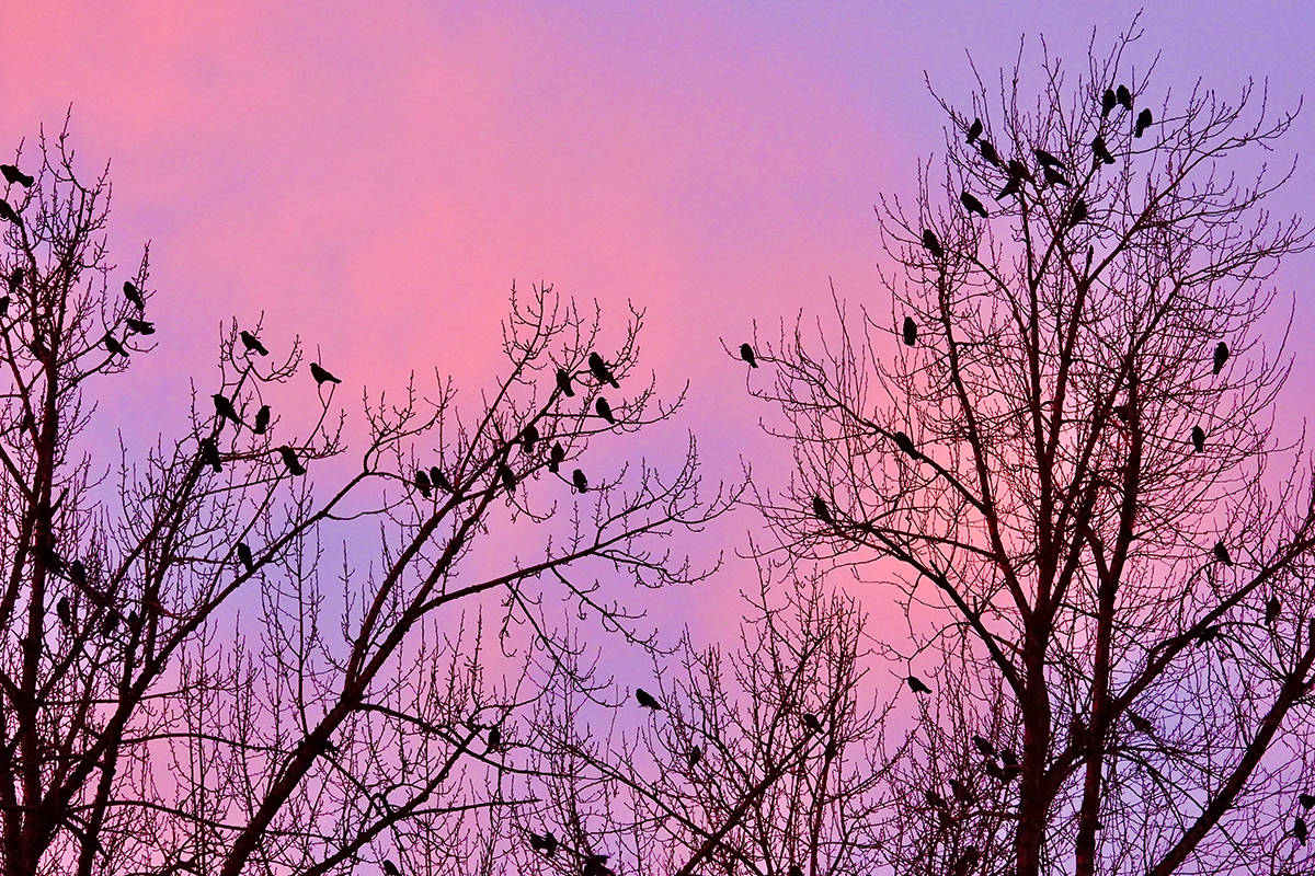 Crows gather at in the cottonwoods of Sandra Kidder's neighbour in Aldergrove every winter morning just before sunrise. (Sandra Kidder/Special to the Langley Advance Times)