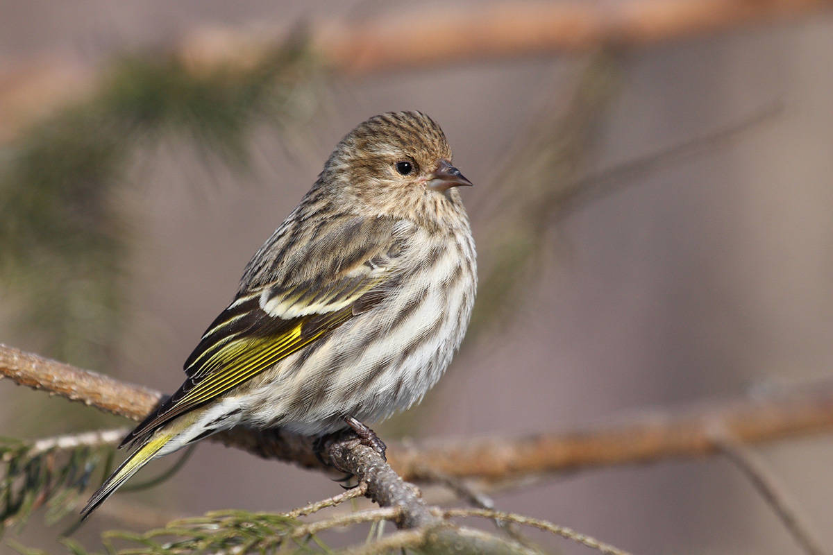 People have noticed pine siskins dying in the area, part of a trend of larger numbers of the finch flocking to the area about every five years. The larger numbers result in crowding and increased spread of salmonella. (Wikipedia photo)