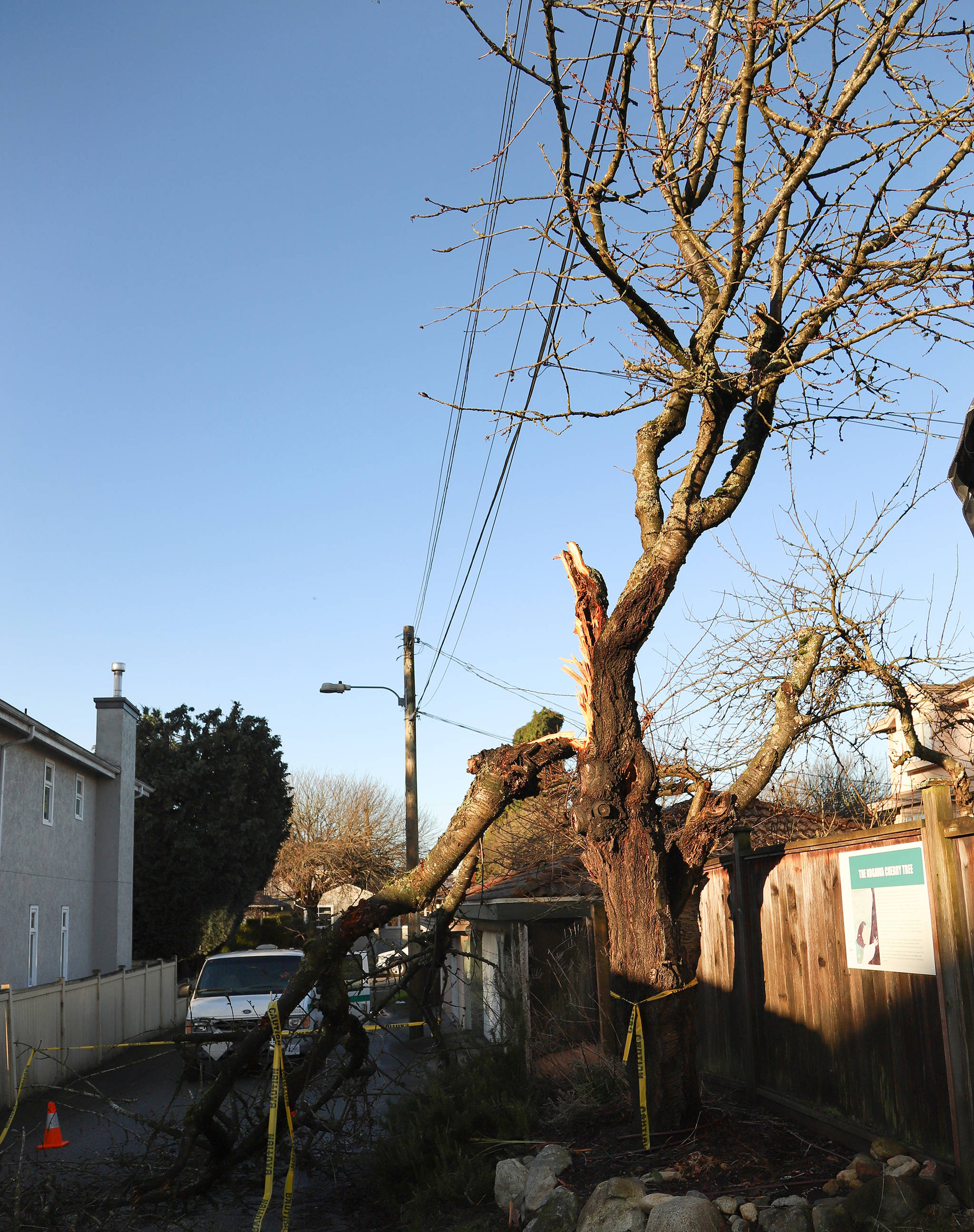 The recent windstorm that toppled trees and downed power lines across much of southern B.C. also damaged a cherry tree in Vancouver, shown in a handout photo, that inspired writer Joy Kogawa. THE CANADIAN PRESS/HO-Ksenia Makagonova Mandatory Credit