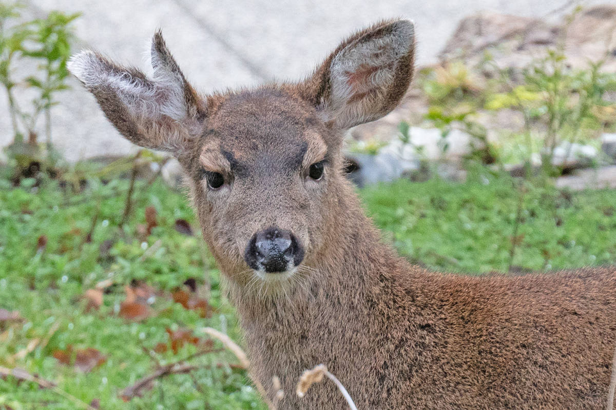 A unique-looking deer has been visiting a Nanoose Bay property with its mother. (Frieda Van der Ree photo)