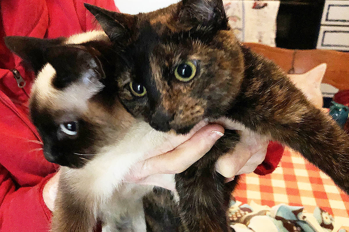 Lilly and Poppy, two cats owned by Kalmar Cat Hotel ownder Donna Goodenough, both have cerebellAr hypoplasia, a genetic neurological condition that affects their ability to control their muscles and bones. Photo by Alistair Taylor – Campbell River Mirror