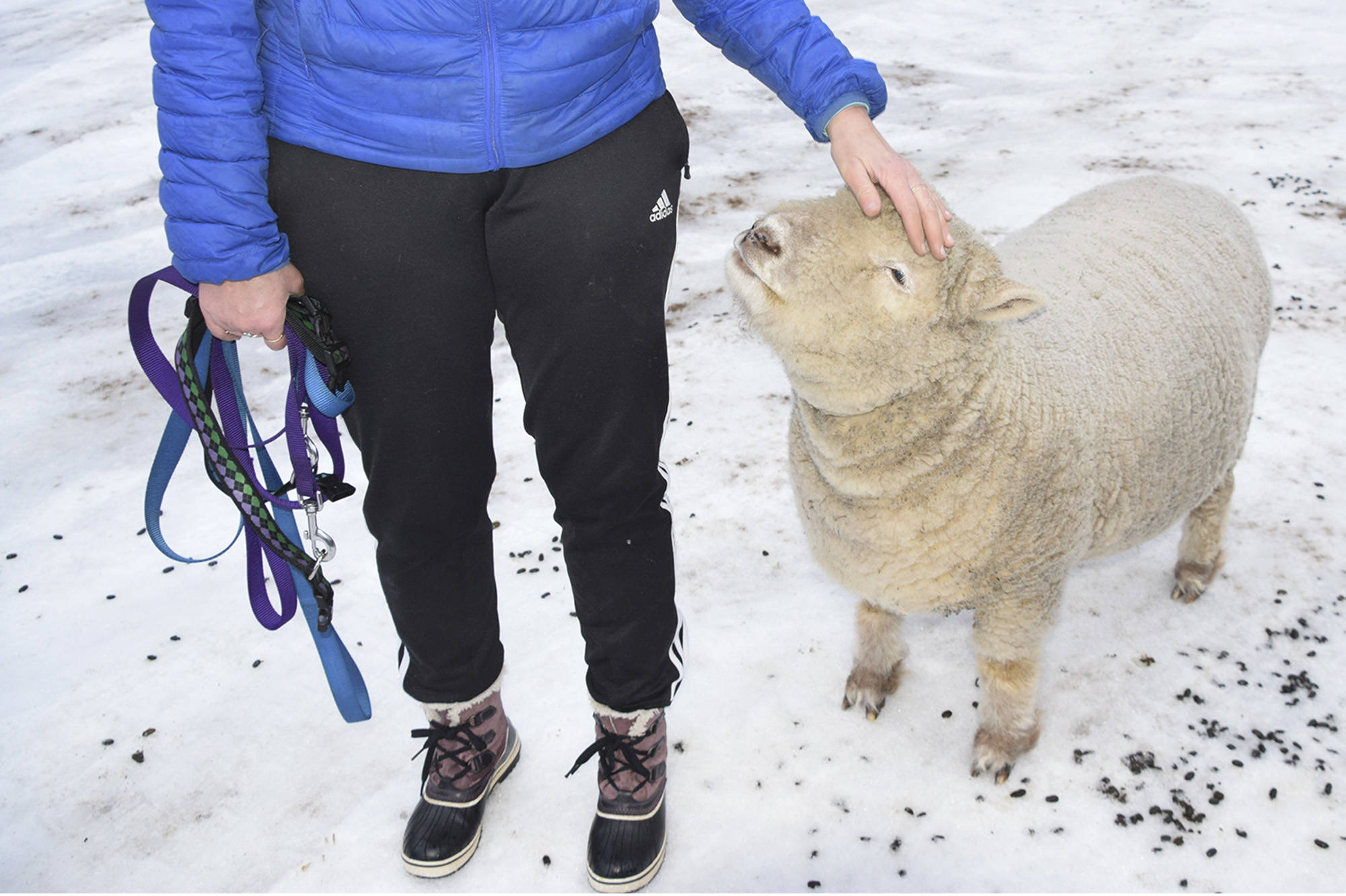 The Kantymirs' sheep like to follow their human companions closely. (Martha Wickett - Salmon Arm Observer)