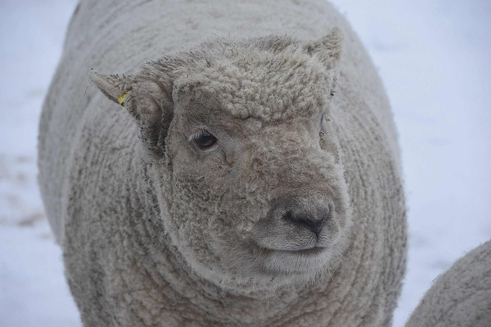 Tonic, one of Ken and Karleen Kantymir's pet sheep. (Martha Wickett-Salmon Arm Observer)
