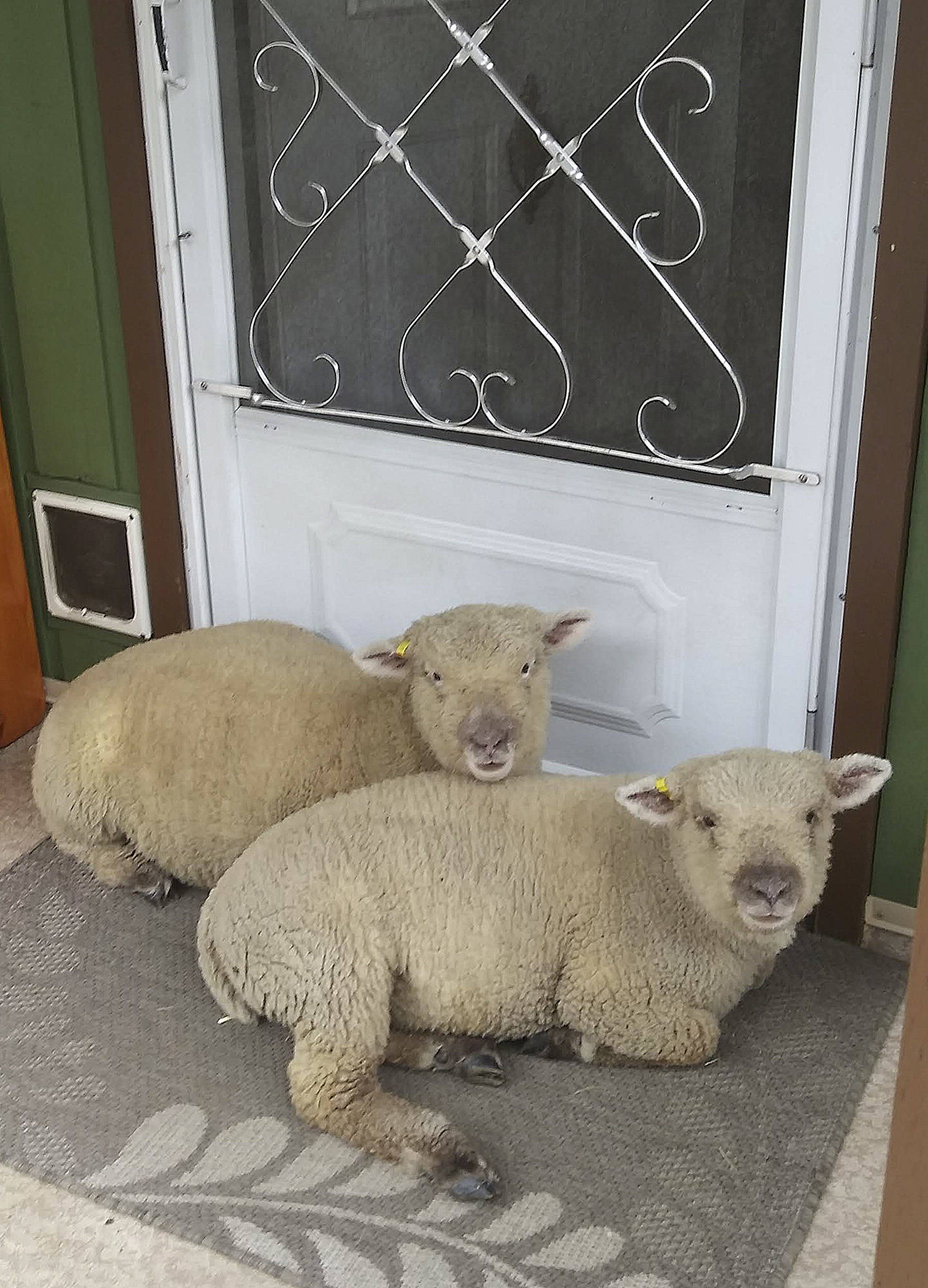 Ken and Karleen Kantymir's pet sheep Gin and Tonic would prefer to live inside the house, but they're a tad too messy. (Contributed)