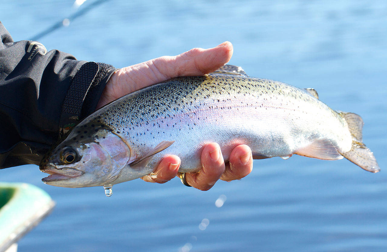 Rainbow trout, pictured, was one of several species stocked into B.C. lakes in 2020. Despite challenges posed by the pandemic, the Freshwater Fisheries Society of B.C. successfully completed its program last year, releasing 5.63 fish into 662 lakes across the province. (Black Press Media file photo)