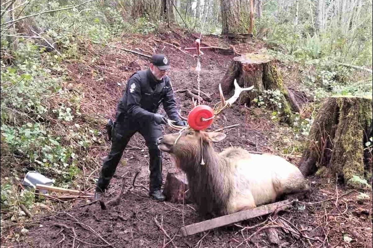 An elk got his antlers caught up in a zip line in Youbou over the weekend, and conservation officers were called in to remove it. (Conservation Officer Service Photo)