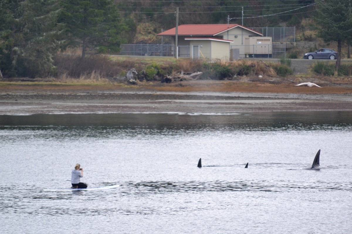 Stand-up paddleboarder Christie Jamieson kneels as a pod of transient orcas put on a dramatic show on Jan. 19 in the Ucluelet Harbour. (Nora O'Malley photo)