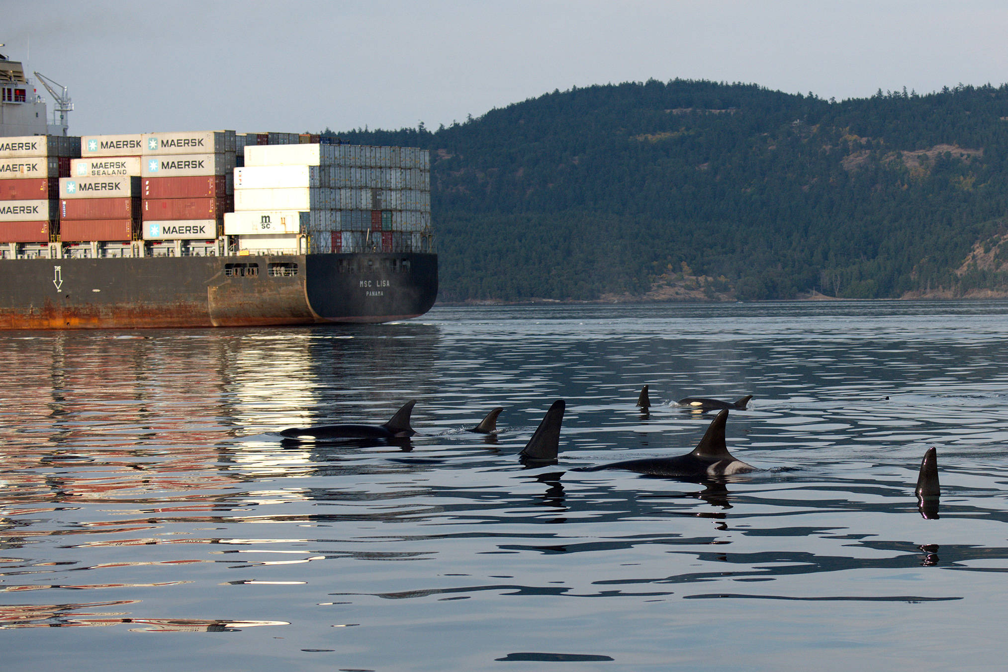Southern resident killer whales in B.C. waters. Research shows the population's females are more negatively influenced by vessel traffic than males. (Photo supplied by Ocean Wise Conservation Association)