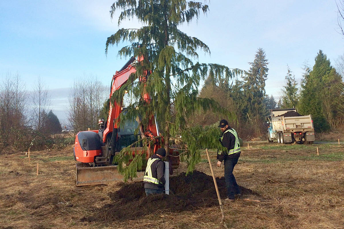 The first tree – a Sitka spruce – in the second phase of Fort Langley's Memory Grove was planted on the morning of Thursday, Jan. 21. (Kurt Alberts/Special to the Langley Advance Times)