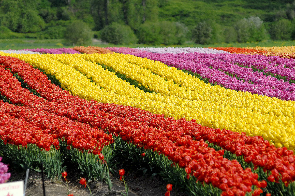 The Abbotsford Tulip Festival is permanently closing, with plans to eventually set up in Armstrong, B.C. (Abbotsford News file photo)