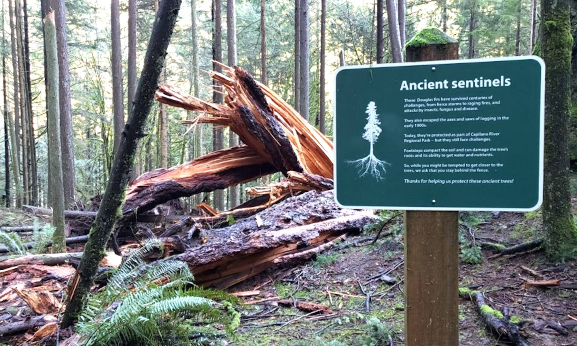 The Douglas fir tree, estimated to be around 500 years old, two metres in diameter, and 58 metres tall, fell on Dec. 8, 2020 due to natural causes. (Submitted photo)