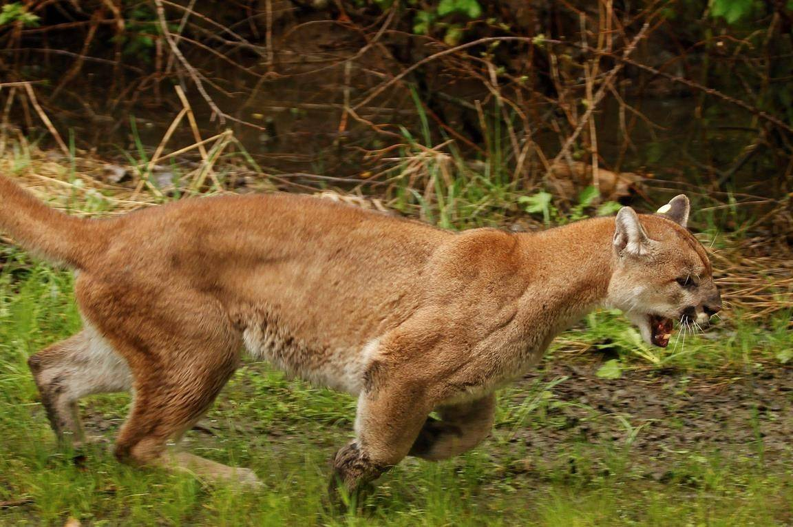 In this May 23, 2012, file photo, an approximately 2-year-old female cougar runs away from a Washington Department of Fish and Wildlife trap after being released northeast of Arlington, Wash. A cougar has attacked and severely mauled a man in British Columbia. THE CANADIAN PRESS/AP-Mark Mulligan/The Daily Herald via AP