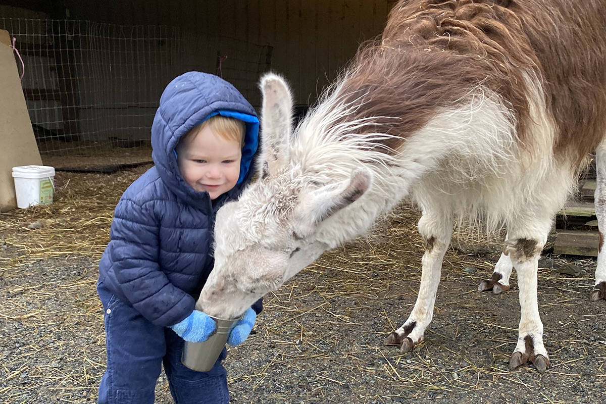 Mild-mannered Daisy the llama shares a bite and a hug with one-year-old Porter Milton. The 15-year-old Daisy was taken in by Kensington Prairie Farm in Aldergrove, which raised funds to pay for her surgery. (Kensington Prairie Farm/Special to Langley Advance Times)