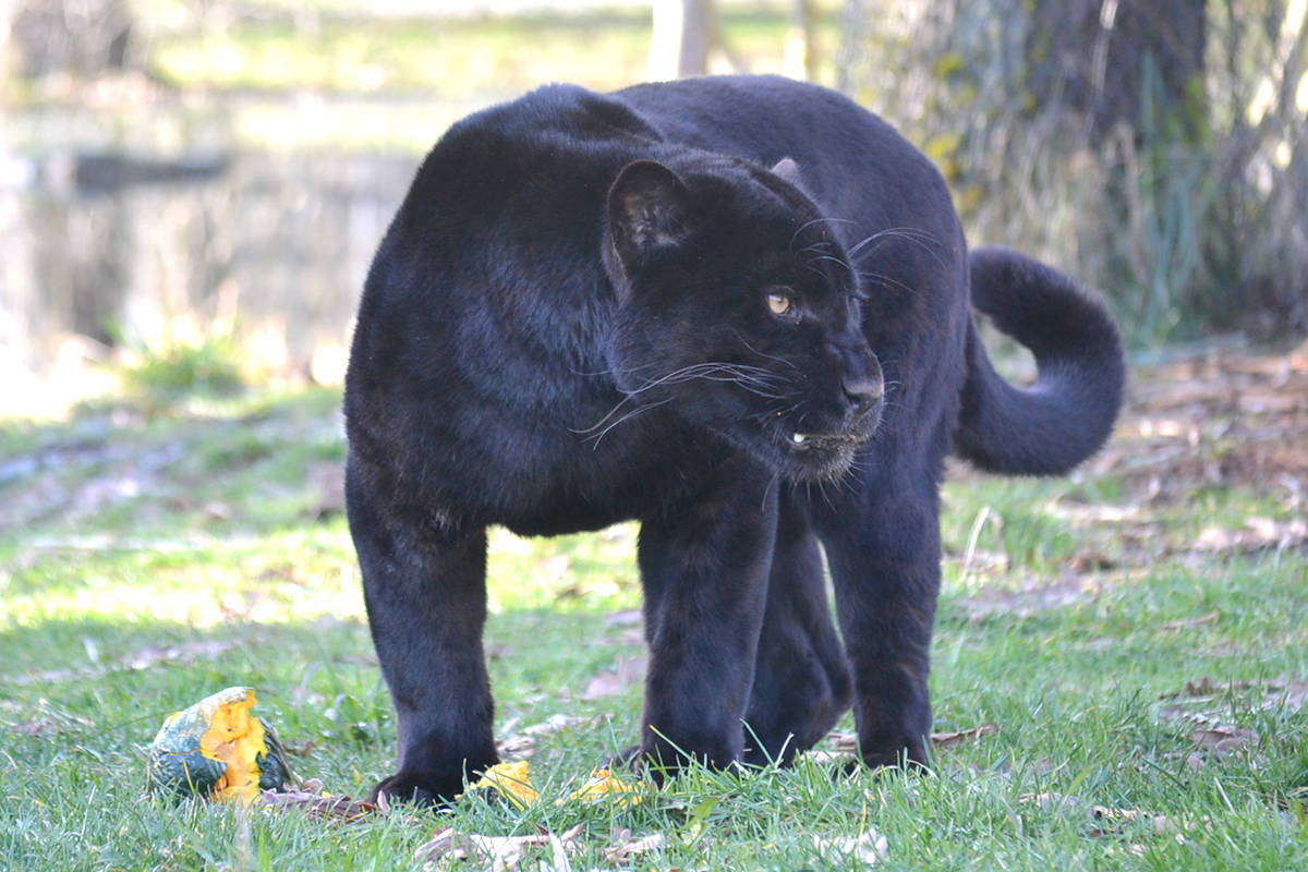 The Greater Vancouver Zoo has a jaguar and many other unique animals. (Ryan Uytdewilligen/Aldergrove Star)