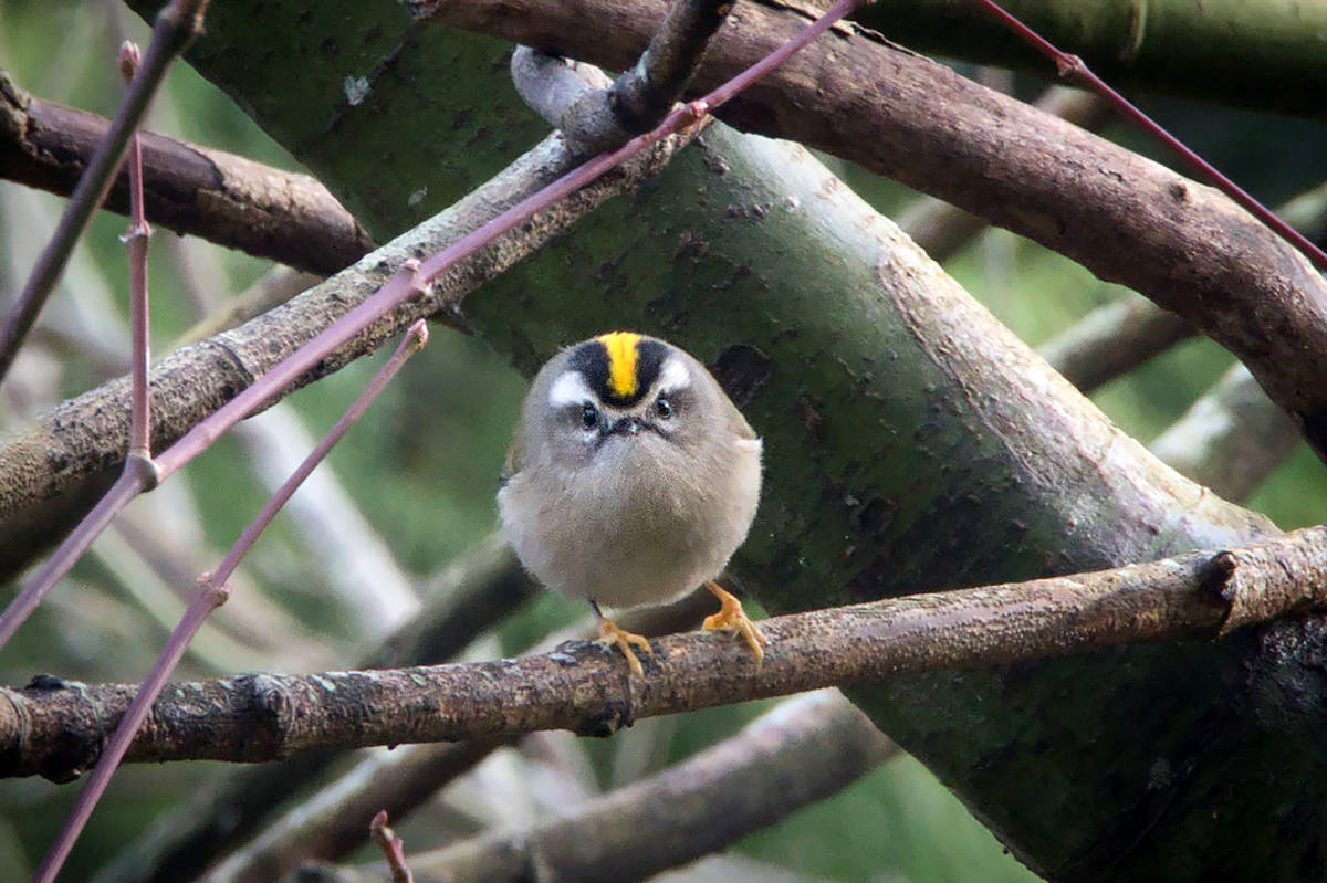"""Anne Franklin shared this picture, taken by her brother John Simpson, of an """"adorable"""" Kinglet captured during one of their many walks around the streets of Brookswood. """"Hope others will enjoy it as much as I do,"""" Franklin said. (Special to the Langley Advance Times)"""