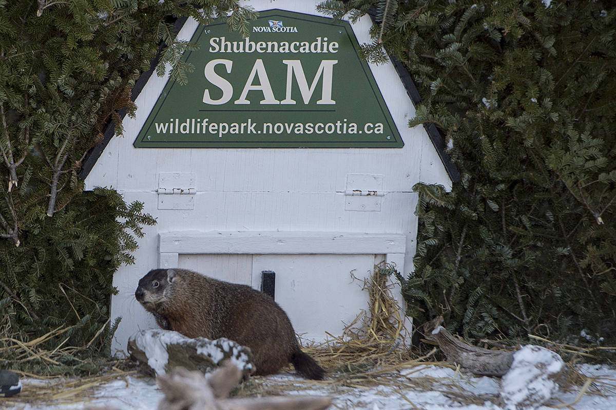 Shubenacadie Sam looks around after emerging from his burrow at the wildlife park in Shubenacadie, N.S. on Saturday, Feb. 2, 2019. Sam saw his shadow and predicts six more weeks of winter. THE CANADIAN PRESS/Andrew Vaughan