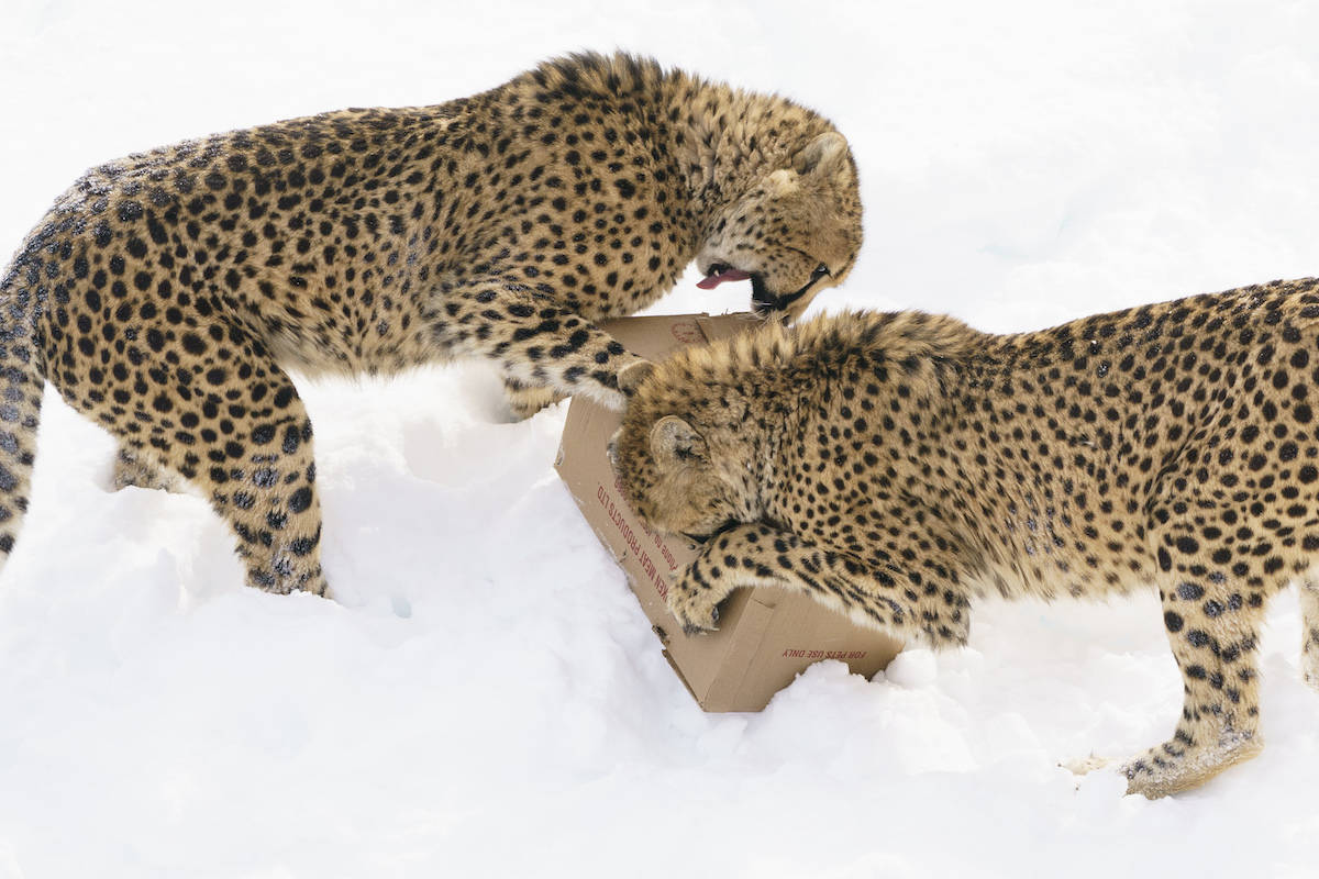 A pair of cheetahs from the facility are settling in well after recently making the multi-day journey from Quebec's Parc Safari to the Imire wildlife sanctuary in Zimbabwe. THE CANADIAN PRESS/Paul Chiasson