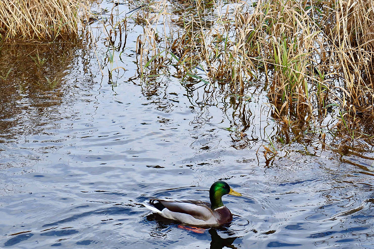 Walnut Grove photographer Rebecca Harper shared a picture of this mallard swimming around recently in Campbell Valley Regional Park. (Special to Langley Advance Times)